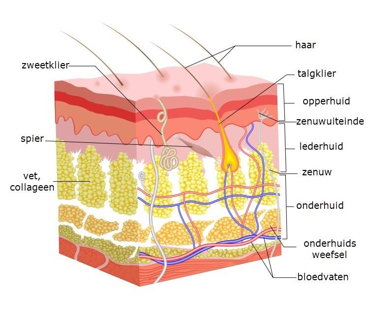 Opbouw van de huid informatie