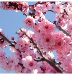 Cherry Blossom Waxmelt