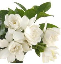 Gardenia WaxMelt