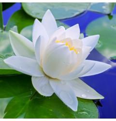 Lotus Waxmelt